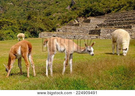 alpacas in  Machu Picchu Lost City of Inca, Peru