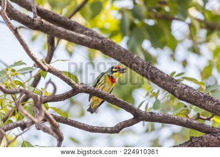 Bird (Streak-eared bulbul, Pycnonotus blanfordi) brown color perched on a tree in a nature wild poster