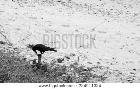 Black and white photo. Raven on sand beach.