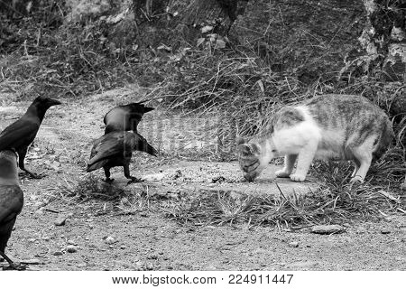 Black and white photo. A cat by the wayside eats. Crows (raven) around the cat.