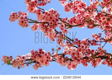 Pink sakura cherry blossom close-up in doi angkhang mountain, Thailand.
