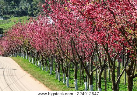 Pink route derived from the beautiful of Sakura, Cherry Blossoms in Doi Angkhang mountain (Royal Agricultural Station Angkhang), Chiangmai Province, Thailand.