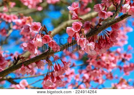 Himalayan Cherry (Prunus cerasoides) or Thai Cherry blooming at Doi Angkhang mountain (Royal Agricultural Station Angkhang), Chiangmai Province, Thailand.