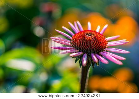 Purple Coneflower bloom with some bokeh and colouful blurred background.