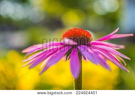 Purple coneflower in the garden, with a bokeh and blurred background.