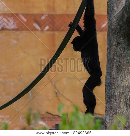 A silhouette of a white handed gibbon hanging from a rope