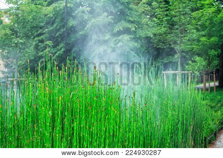 View of Equisetum hyemale, known as rough horsetail plant being irrigated in a city park