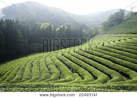 Rows Of Green Tea