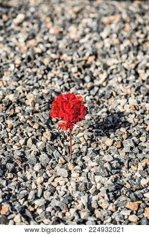 Close-up of red flower growing up from the gravel. The concept of life and motivation. Struggle for life. Desire to live poster