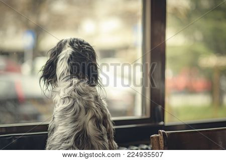 Beautiful dog, an english setter, looking outside the window from a coffee shop in a pensive pose