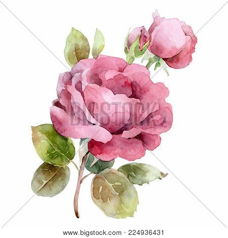 Single pink rose isolated on white background. Watercolor illustration