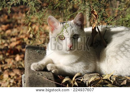 White stray cat looking intently at camera from under a tree branch on an old wooden park bench with peeling paint and covered in fallen leaves. Clear, sofft autumn light.