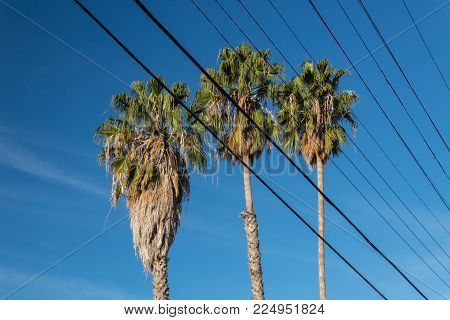 Centered view of three Washingtonia fan palm trees against a blue sky, seen through multiple electric power lines, blue sky, vertical aspect