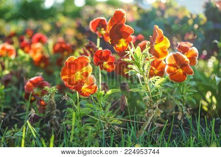 Bright colors of pansies in the rays of the sun with the background of green grass.
