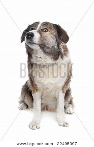 Aidi or atlas mountain dog in front of a white background poster