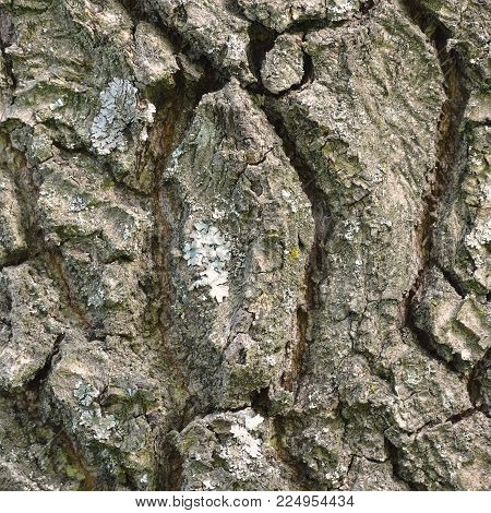 Oak bark texture background, vertical textured pattern, large detailed rugged tree trunk macro closeup, old aged weathered coarse rough cracked close-up