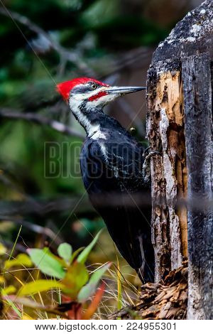 Pileated Woodpecker, Banff National Park, Alberta, Canada