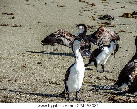 Pied shag, flock on the beach Goat Island, new Zealand