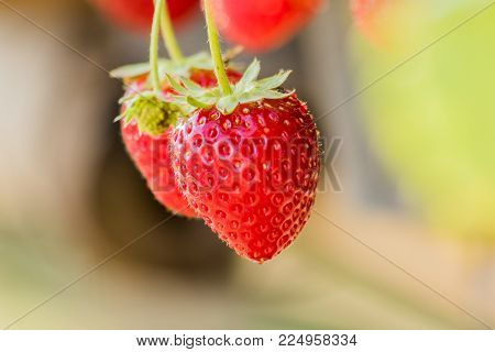 Strawberries on a strawberry plant on a strawberry plantation.
