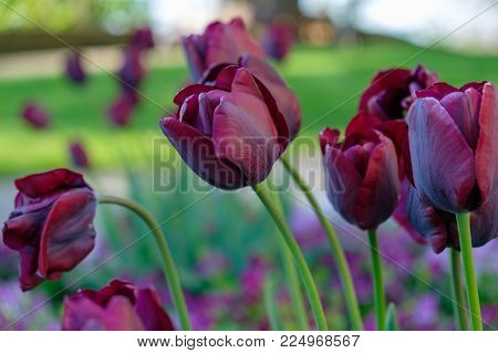 Group of purple tulips on the outdoor garden, close up. Spring season.