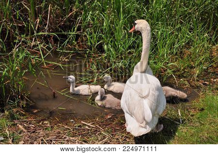 Swan with baby cygnets in pond, spring time, Swan family in Lynde Creek, Whitby, Ontario, Canada
