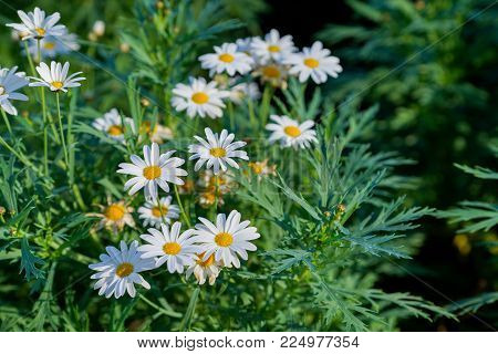 Flowering. Chamomile. Blooming Chamomile Field, Chamomile Flowers On A Meadow In Summer, Selective F