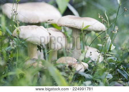 Mushroom in green grass dreamy toned photo. Summer forest scene. White edible mushroom macrophoto. Green leaf and white mushrooms. Natural mushroom growing. Ecotourism recreation. Pick up mushroom poster