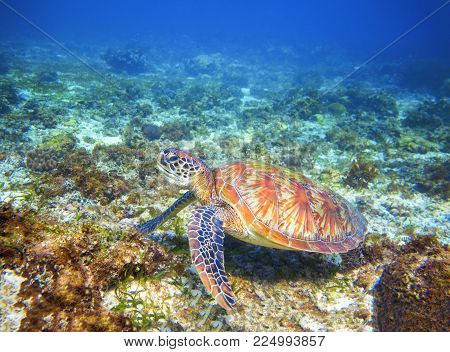 Green sea turtle on coral reef formation. Tropical sea nature of exotic island. Olive ridley turtle in blue sea water. Sea tortoise in tropical lagoon. Tropic undersea photo. Protected marine animal
