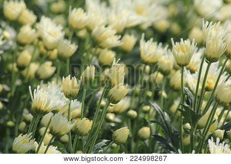 Chrysanthemum wallpaper, chrysanthemums in autumn. Beautiful chrysanthemum as background picture.