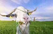 Goat with funny teeth and grass in mouth - Funny looking white billy goat with hilarious teeth, looking at the camera, with grass in its mouth, in a green field, on a sunny day of summer. poster