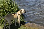 large dog standing by the lake looking at the water poster