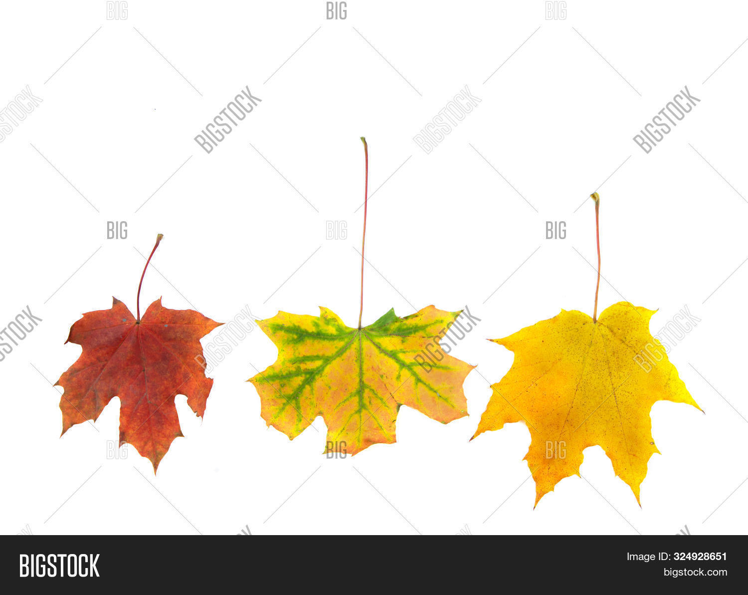 Three Dry Maple Leaves On A White Background