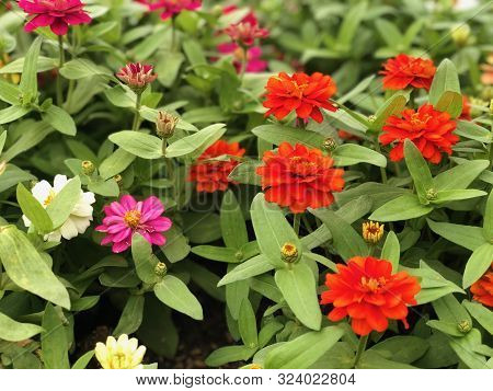 Orange Zinnia Angustifolia, The Narrow-leaf Zinnia Blooming In The Garden, Hybrids Between Z. Angust
