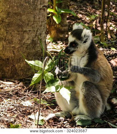 Portrait Of The Eating Ring-tailed Lemur Lemur Catta Aka King Julien In Anja Community Reserve ,mana