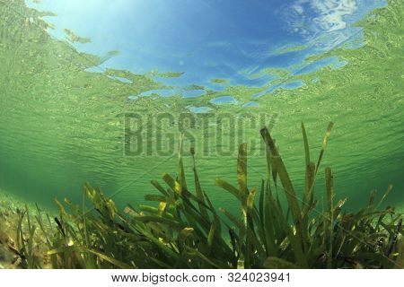 Underwater background of green sea grass and blue water