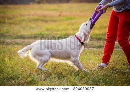 Golden Retriever Playing With Puller In Woman Hands On Field At Autumn Landscape