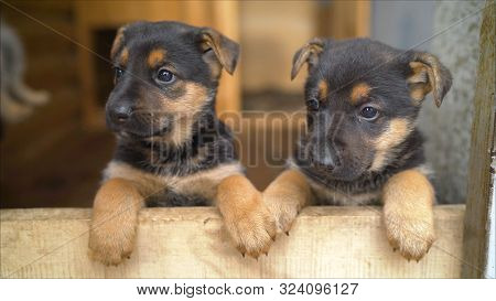 Shepherds Puppys. Two Cheerful Friends. Two Puppies Of A German Shepherd.