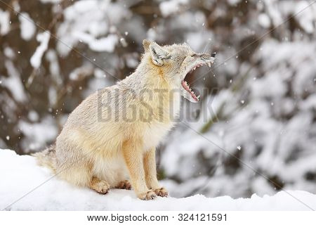 Corsac Fox Is Sitting On White Snow. Animals In Wildlife. Animal With Fluffy And Warm Fur.