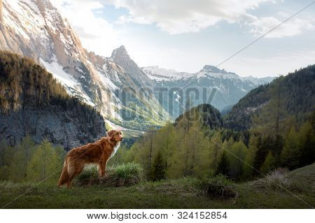 Toller Dog In The Mountains In The Fall. Nova Scotia Duck Tolling Retriever In Nature