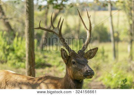Young Elk Or Wapiti (cervus Canadensis) In Natural Habitat. The Largest Species Of Deer. Young Wapit