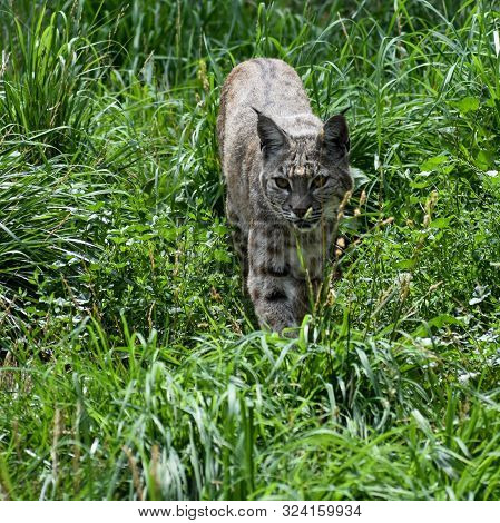 Grey Bobcat Stalking Through Tall Green Grass