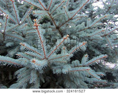 Branches Of Spruce Tree Closeup Background. Stock Photo