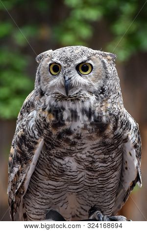 Portrait Of A Great Horned Owl Sitting