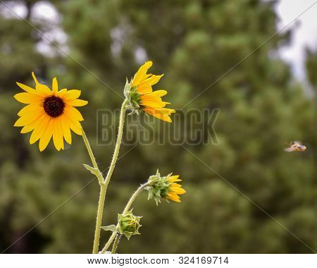 Yellow Sunflowers With Busy Bee Flying Toward Them
