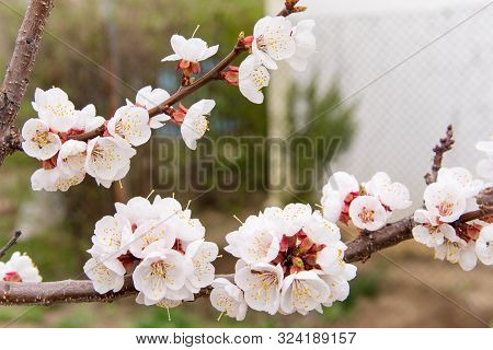 Apricot Blossom In The Garden. Flowering Tree In Spring. Spring White Flowers On A Tree Branch. Apri