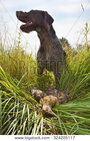 German Wirehaired Pointer Found In The Grass Downed Wildfowl (hen Blackcock) During Hunting