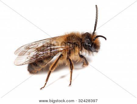 Male Mining Bee