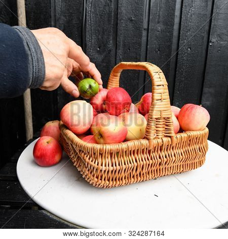 Stock Picture Of Windfall Red And Yellow Autumn Apples In A Wicker Basket, On A White Table, With A