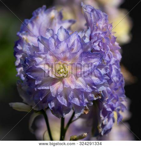 Candle Larkspur (delphinium Elatum), Close Up Of The Flower Head