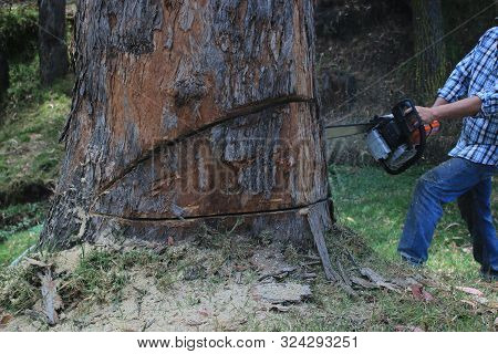Logger Man Cutting An Eucalyptic Tree With A Chainsaw And Woodspecks Flying Around